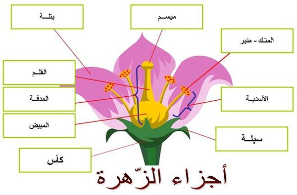 أجزاء الزهرة