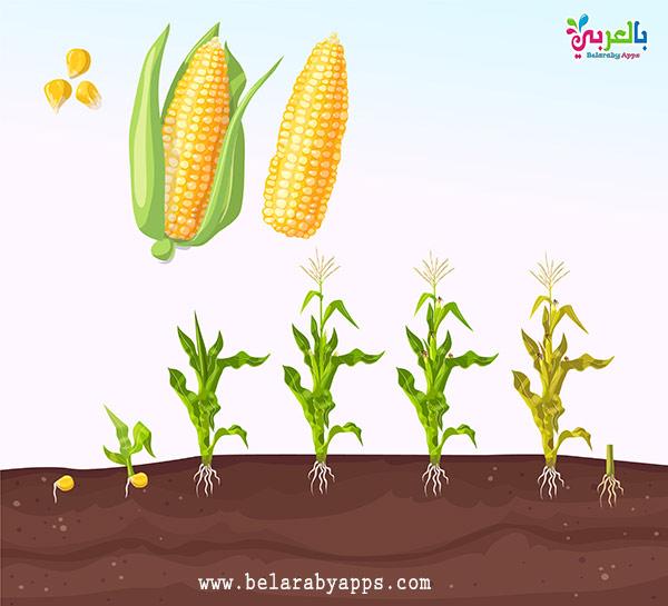رسم دورة حياة نبات الذرة بالصور