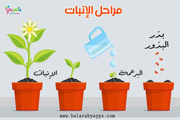 رسم دورة حياة النبات مراحل نمو النباتات بالصور انفوجرافيك بالعربي نتعلم