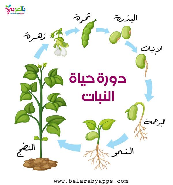 رسم دورة حياة النبات