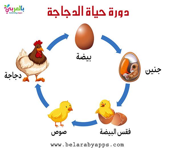 دورة حياة الدجاجة بالرسم