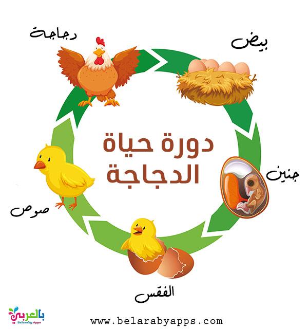 رسم دورة حياة الحيوانات للاطفال - الدجاجة
