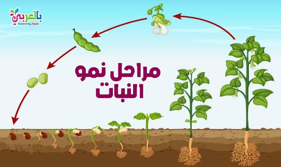 رسم دورة حياة النبات - مراحل نمو النباتات بالصور