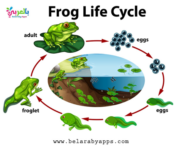 Animal life cycle diagram