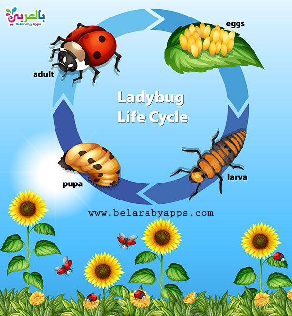 ladybug life cycle biolog