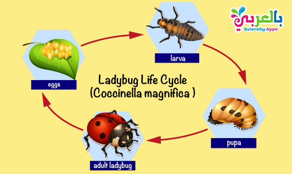 Animal Life Cycle Diagram - Science Posters For Kids