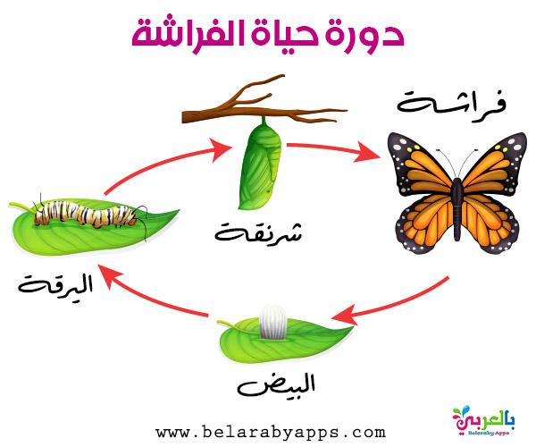 رسم دورة حياة الفراشة