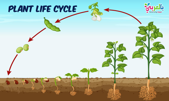 Plant Life Cycle Diagram For Kids - Science Posters