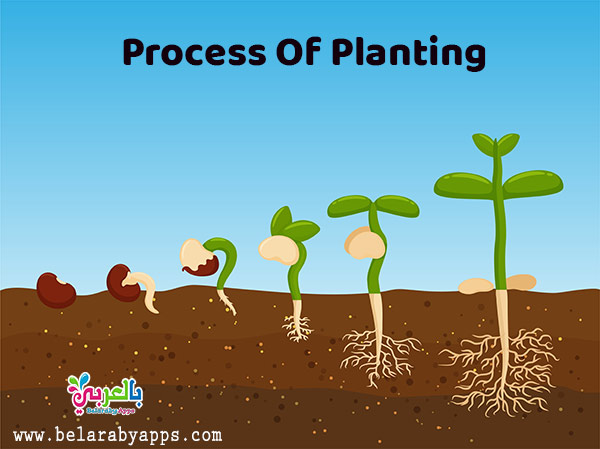 The plants life cycle for kindergarten