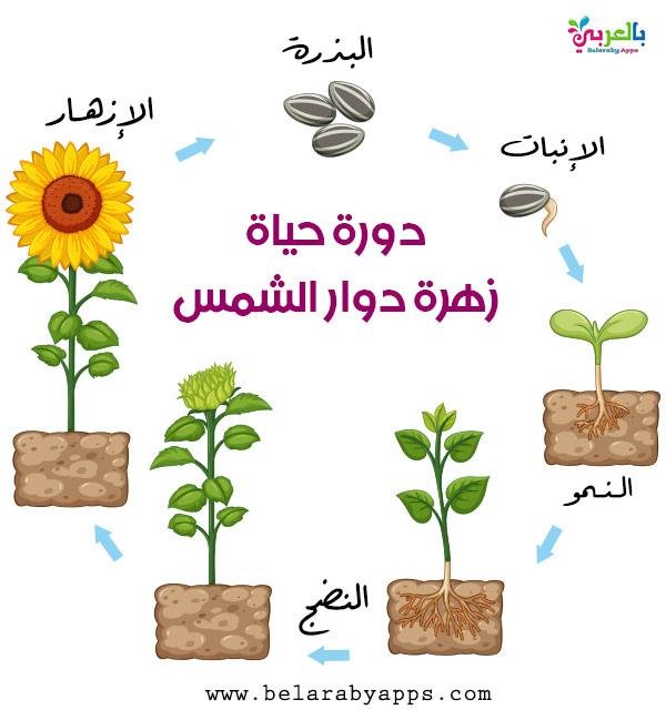 دورة حياة نبات زهري من خلال الصور