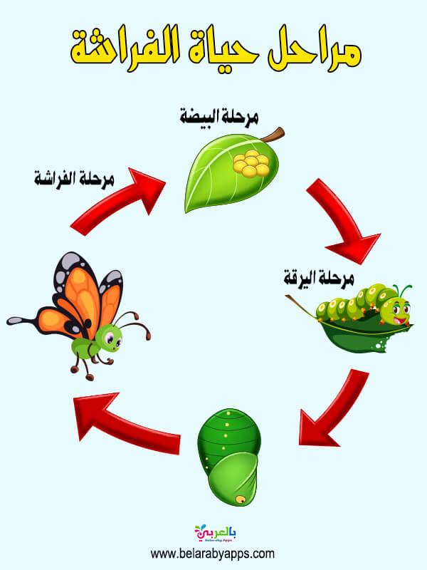 لوحة دورة حياة الفراشة .. وسيلة تعليمية للعلوم