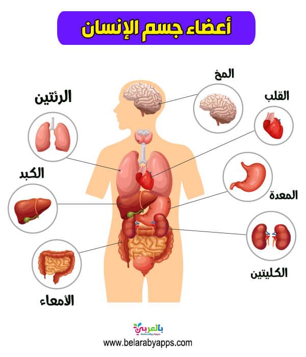 وسائل تعليمية لوحة اعضاء جسم الانسان